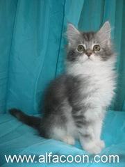 Мейн-кун котята из питомника.