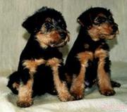 Вельштерьера щенки в Самаре,  возможна доставка в Пензу