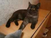 Продается шотландский котенок